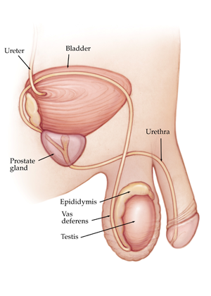 prostate male ejaculation